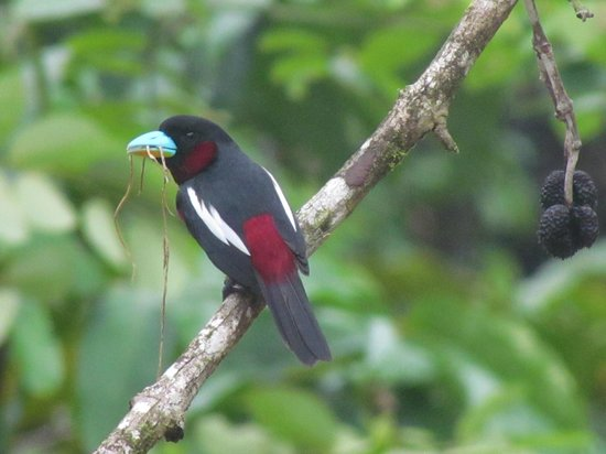 Melapi Lodge Sukau: Black-and-red Broadbill