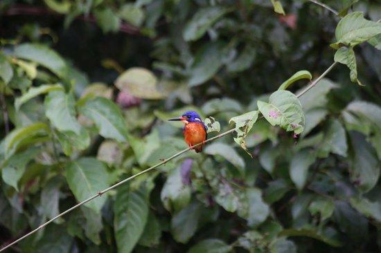 Melapi Lodge Sukau: Blue-eared Kingfisher