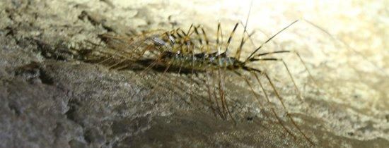 Melapi Lodge Sukau : Giant Scutigera Centipede