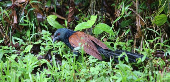 Melapi Lodge Sukau: Greater Coucal