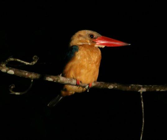 Melapi Lodge Sukau : Stork-billed Kingfisher