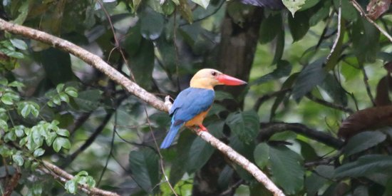 Melapi Lodge Sukau: Stork-billed Kingfisher