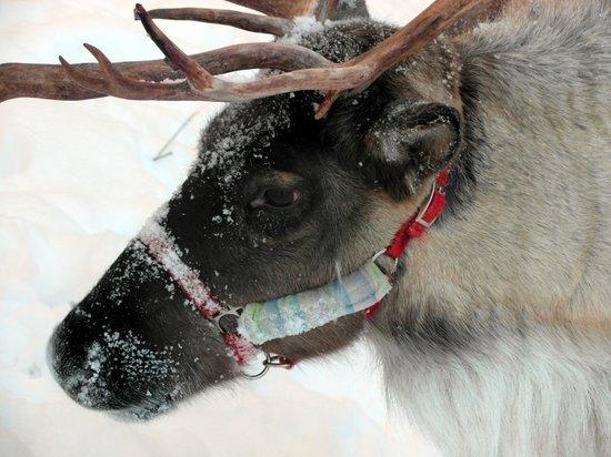 Running Reindeer Ranch: Willow