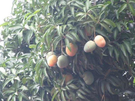 Livingstone Backpackers : The mango fruits and trees are everywhere.