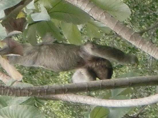 Hotel Costa Verde: Our sloth