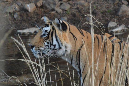 Ranthambore National Park: Tiger at Ranthambore