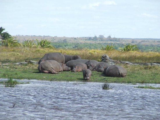 St. Lucia Wilds: Hippos on the bank in winter at the boardwalk mouth area