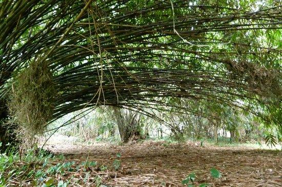 bambus im garten, bambus im botanischen garten von bogor - picture of bogor botanical, Design ideen