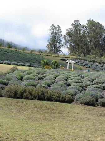 Ali'i Kula Lavender Farm: Lavender farm
