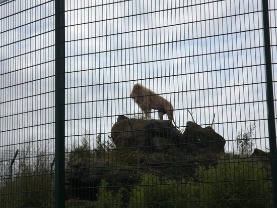 Isle of Wight Zoo : White lion standing tall.