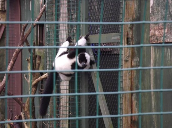 Isle of Wight Zoo : black and white ruffed lemur