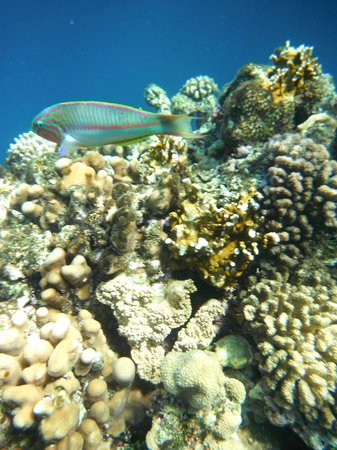 Maritim Jolie Ville Royal Peninsula Hotel & Resort: Coral and fish at beach