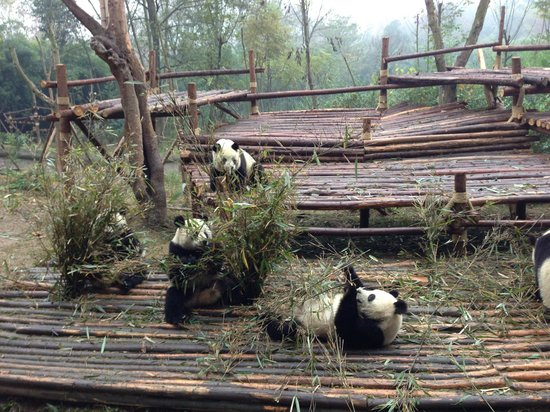 Giant Panda Breeding Research Base (Xiongmao Jidi): Panda!