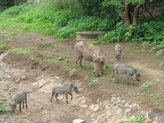Water Lily Lodge: Wild hogs roam around Kasane