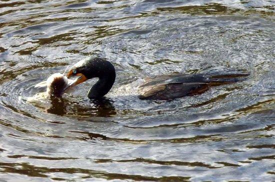 Manatee Park: cormorant with fish