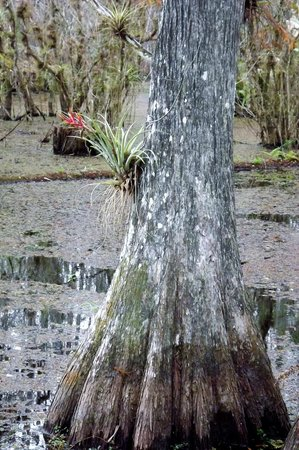Six Mile Cypress Slough Preserve: Air plant on Cypress tree