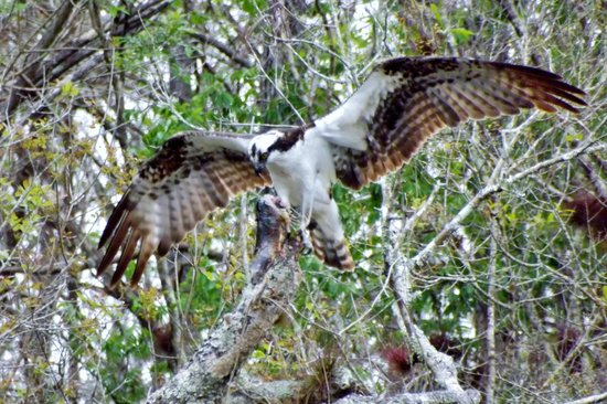 Six Mile Cypress Slough Preserve: Osprey eating his catch