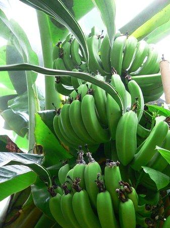 Régime de bananes - Jardin aux Papillons