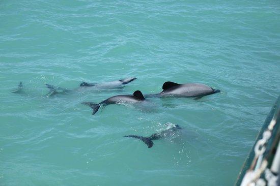 Fox II : Hectors dolphins