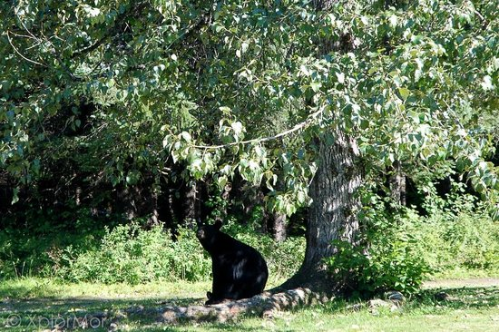 Taku Glacier Lodge & Wings Airways: Black Bear came for Lunch