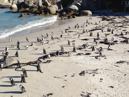 Boulders Beach: Penguins