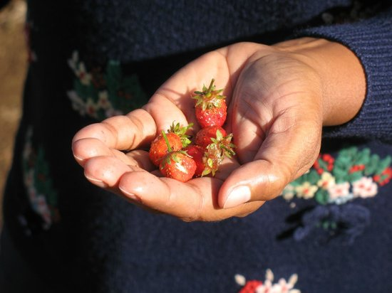 Camelot Resort: Fresh Strawberries..Never ever had such sweet fruit in life