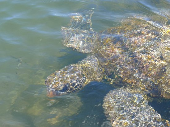 The Savaiian Hotel: swimming with turtles - a pleasant drive away