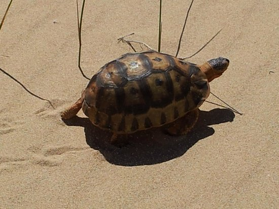 Robberg Nature Reserve: Mountain tortoise