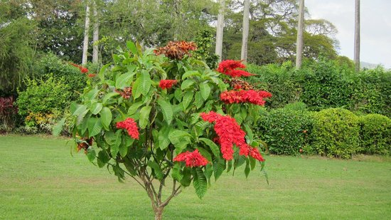 Royal Botanical Gardens: Double Chaconia (Trinidad's National Flower)