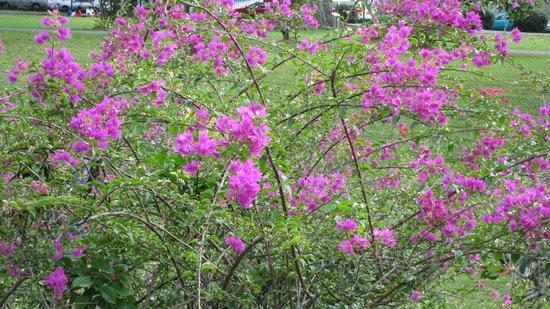 Royal Botanical Gardens: Bourginvilla