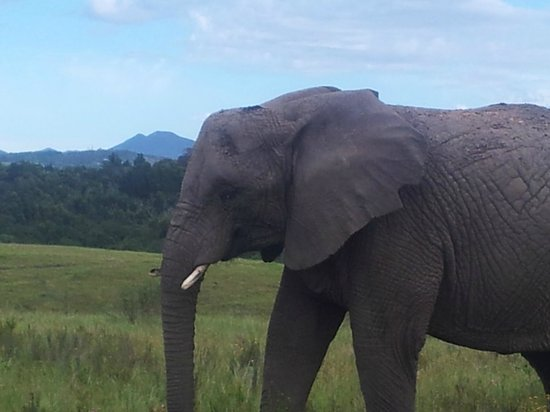 Grand Africa Cafe & Rooms: Knysna Elephant Park...walking with giants.