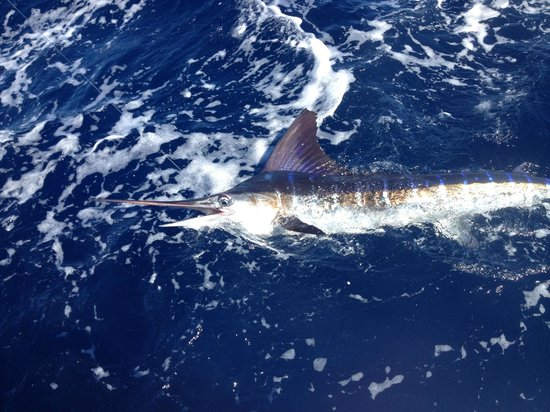 BJC Fishing Charters: Released Marlin