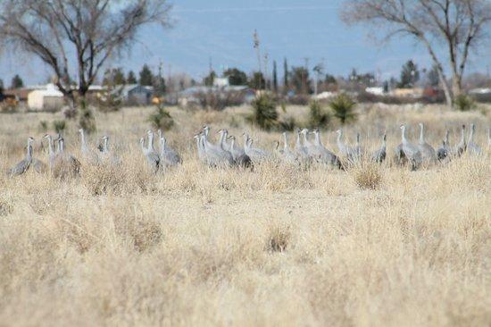 Willcox Playa Wildlife Area: Cranes near golf course