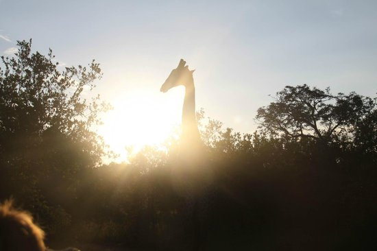 Kapama River Lodge : An artsy shot of a Giraffe with the sun in the bkground