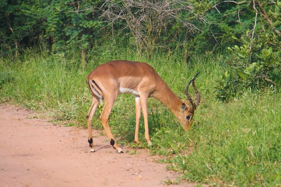Kapama River Lodge: After the fourth safari, the impalas are taken for granted