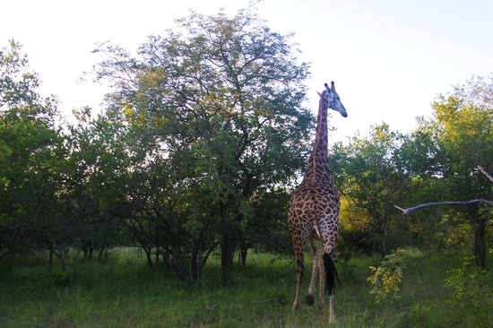 Kapama River Lodge : Okay, I love giraffes