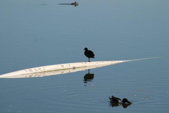 Willcox Playa Wildlife Area: Coot at Cochise Lake