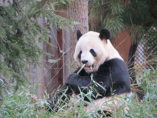 National Zoological Park: Male Giant Panda Tian Tian