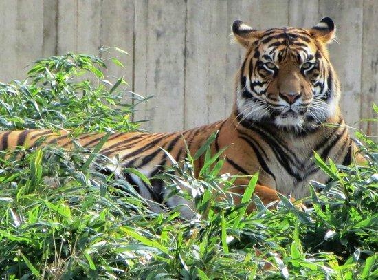 National Zoological Park: Famale Tiger Damai