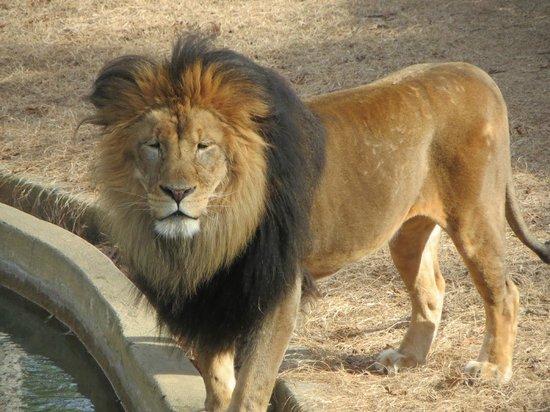 National Zoological Park: Male Lion Luke