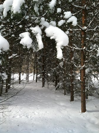 Maplelag: Pine forest with snow