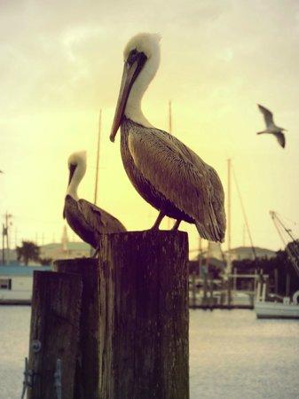 Beaufort Inn: Pelicans sitting on our dock Pilon