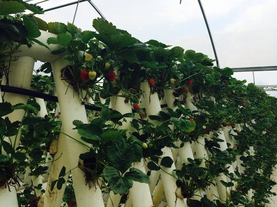 Ricardoes Tomatoes and U-Pick Strawberry Farm