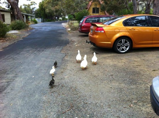 Bicheno by the Bay: The cute ducks in the compound and lake