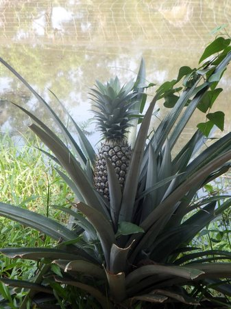 Kait's Home - Farm Life Resorts: Pineapple plants in the gardens