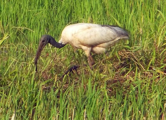 Kait's Home - Farm Life Resorts: Birds in the paddy fields
