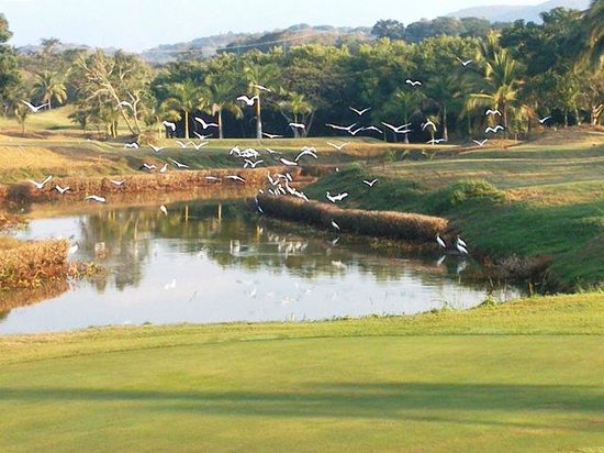 Marina Ixtapa Golf Club : Egrets and Wood Storks around green on Hole #17
