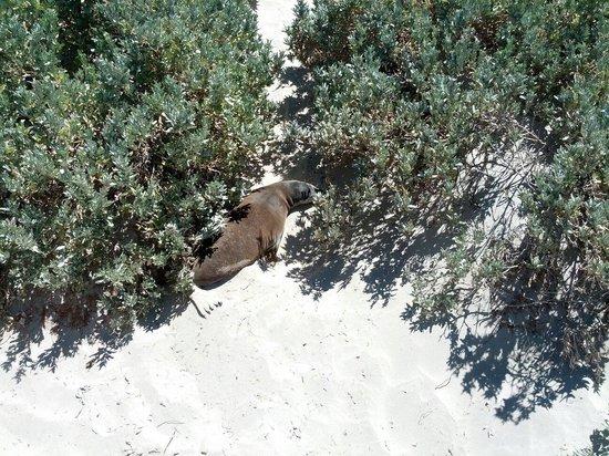 Seal Bay Conservation Park: Otaria fra i cespugli