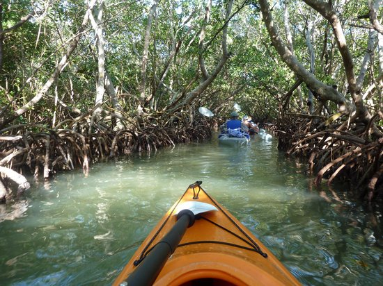 I Kayak Sarasota : Kayaking through the mangrove.