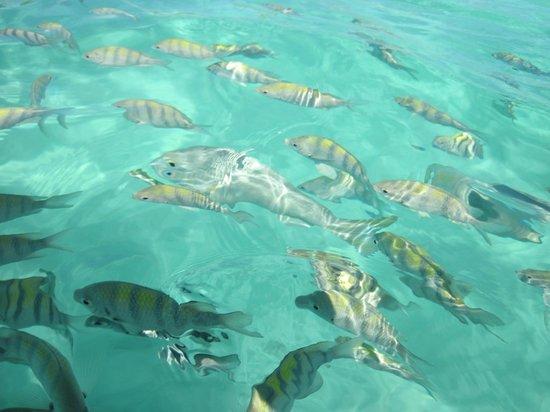 Sandos Playacar Beach Resort: Peces en la playa (luego de tirarles pan se juntan)